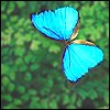 owlmoose: A bright blue butterfly (butterfly)