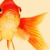 saturnofthemoon: (goldfishy)