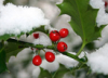 nineveh_uk: picture of holly in snow (holly)
