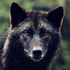 wolfsheart: (Animal: Black Wolf) (Default)
