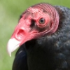 hazmat: (Turkey Vulture)