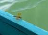 thaliba: dragonfly at kaptai lake, bangladesh (pic#706404)