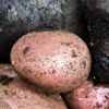 pinepigs_garden: red and purple potatoes (Red Rascal & Urenika potatoes)