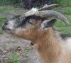 trenchwarfare: (goat)
