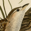 sedge: A drawing of the head of a sedge wren. (Default)