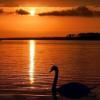 this_swansong: (animals: swan sunset)