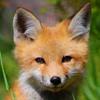 arasigyrn: (Fox-Kris)