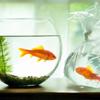sideways: [o] fish in bag watching fish in bowl (►jar on the nightstand)