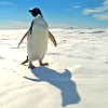 rustydragonfly: Photo of a penguin standing in a snowy landscape (penguin)