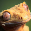 rustydragonfly: Photo of a crested gecko (crestie)