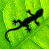 rustydragonfly: Photo of a lizard behind a leaf with light shining through (lizard leaf)
