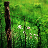 mint_and_feathers: It's a fence, with deep green grass and little white flowers growing by it. (pic#7103832)