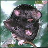 oyceter: Two of my rats in a tissue box (rat)
