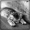 kate_nepveu: kitten lying flat on ground with front paws stretched out before (flat-out exhausted)