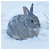 sid: (pretty Rabbit in snow)