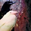 flockofbirds: (ravens)