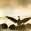 flockofbirds: pfodge (goose flapping wings)