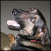 "kate_nepveu: German Shepherd mix dog, looking over shoulder with mouth open (Emmy (""Hey!""))"