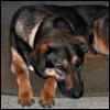 kate_nepveu: German Shepherd mix dog, lying on pillow with head on paws (Emmy (sad))