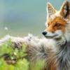 mayexist: (fox)