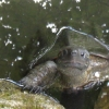 kate_nepveu: small turtle in pond, one leg on rock, looking up at camera (expectant turtle)