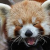 firecat: red panda laughing (red panda laughing)