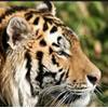 aisuyoukai: (Tiger)