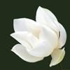 branchandroot: a lotus (lotus)