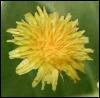 branchandroot: a dandelion (dandelion)