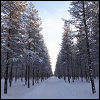 branchandroot: snowy trees (snow trees)