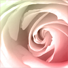 branchandroot: an opening rose (opening rose)
