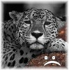 branchandroot: a glum looking jaguar (down jaguar)