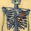 dchan: A red bird inside the ribcage of a skeleton (bird in the heart)