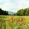 branchandroot: sunny medow of poppies (summer meadow)