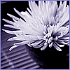 branchandroot: white chrysanthemum on black (chrysanthemum-stark)