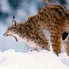 lynx: (Animalito - Como gato de espaldas)