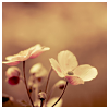 helenorvana: (Stock - sepia-blooming flowers)