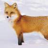 themusecalliope: Vulpes Vulpes (fox)