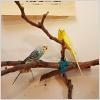 Budgies (aka parakeets)!