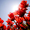 skieswideopen: Red flowers against the sun (Flowers)