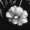 loligo: (anemone)