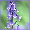 janedavitt: (bluebellbyme)