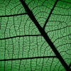 aldersprig: a close up of an alder leaf (Leaf)