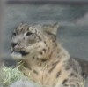 owlmoose: picture of a snow leopard (cats - snow leopard)