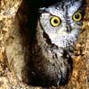 jeweledvixen: (M Owl in Tree)