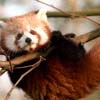 ophelias_heart: (hangin red panda)