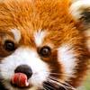 ophelias_heart: (licking red panda)