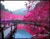 maximumhusky: pink trees reflected in calm lake (plum blossoms)