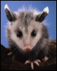 glass_opossum: () (Default)