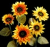 kasbah: sun flowers (sun_flowers)
